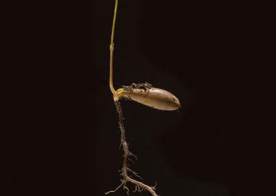 acorn-seedling