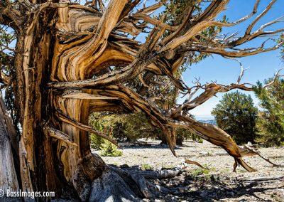 Bristlecone pines -101