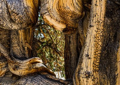 Bristlecone pines-109