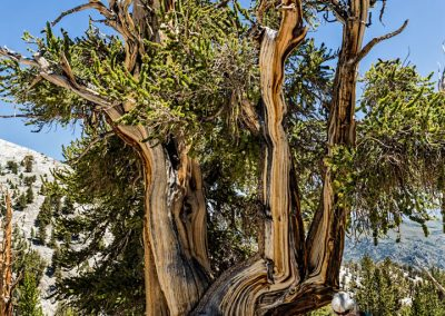 Bristlecone pines -46