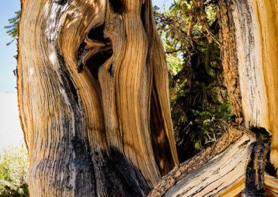 Bristlecone pines-49