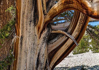 Bristlecone pines-92