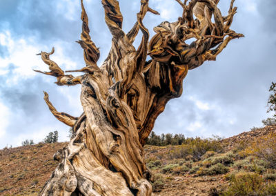 Bristlecone Pines Discovery trail-10