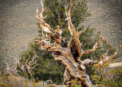 Bristlecone Pines Discovery trail-8